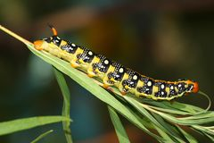 Hawk moth caterpillar (Hyles euphorbiae) Stock Image