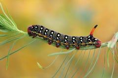 Hawk moth caterpillar (Hyles euphorbiae) Royalty Free Stock Photography
