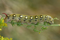 Hawk moth caterpillar (Hyles gallii) Stock Photography