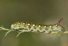 Hawk moth caterpillar (Hyles gallii) Stock Images
