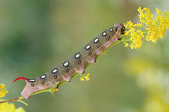 Hawk moth caterpillar (Hyles gallii) Stock Image