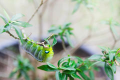 Hawk-moth Daphnis nerii, Sphingidae caterpillar climbing eat p Stock Images