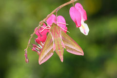 Hawk Moth (Deilephila Elpenor) Stock Image