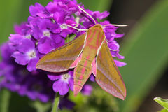 Hawk Moth (Deilephila Elpenor) Royalty Free Stock Photography