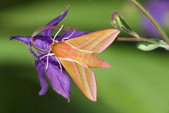 Hawk moth (Deilephila elpenor) Royalty Free Stock Images