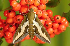 Hawk moth Royalty Free Stock Images