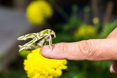 Hawk moth on finger Royalty Free Stock Photography