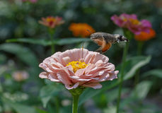 Hawk moth flying above flower Stock Photo