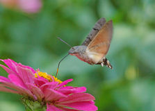 Hawk moth flying above purple flower Stock Photography