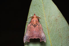 Hawk moth on green leaf Royalty Free Stock Images