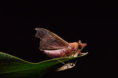 Hawk moth on green leaf Stock Images