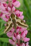 Hawk moth (Hyles euphorbiae) Stock Image