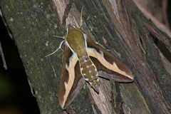 Hawk moth (Hyles gallii) Stock Photography