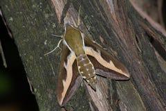 Free Hawk Moth (Hyles Gallii) Stock Photography - 14124362