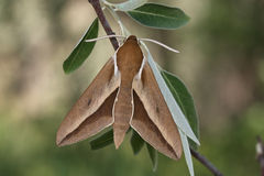 Hawk moth (Hyles hippophaes) Stock Image