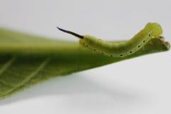 Hawk moth on a leaf Stock Photography