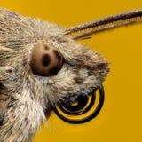 Hawk-moth portrait, extreme magnification Stock Photo