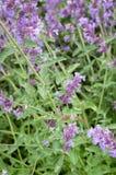 Hawk Moth - Purple Flowers Stock Photos