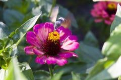 Hawk moth(Sphingidae) Stock Images
