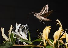 A hawk moth or sphinx moth flying above some of the honeysuckle flowers it was feeding on. With a black background royalty free stock images