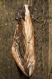 Hawk Moth on wood background Stock Image