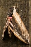 Hawk Moth Royalty Free Stock Images