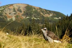 Hawk and mountain Stock Photos
