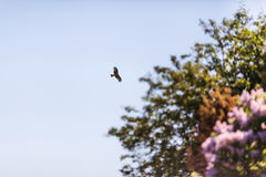 Hawk nel cielo blu Immagine Stock Libera da Diritti