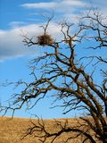 Hawk Nest. In Old Tree Stock Photography