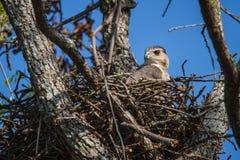 Hawk Nesting del bottaio Fotografie Stock
