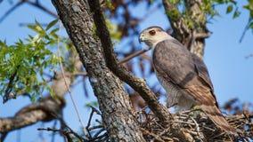Hawk Nesting del bottaio Immagine Stock Libera da Diritti