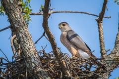 Hawk Nesting del bottaio Fotografia Stock Libera da Diritti