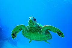 Hawk nose turtle Royalty Free Stock Images
