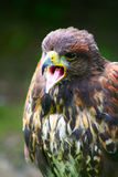 Hawk With Open Beak stock images