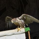 A hawk ready to get up in flight royalty free stock image