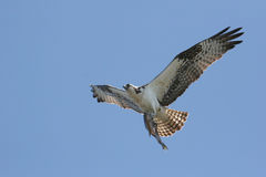 Hawk - Osprey With A Fish Royalty Free Stock Image