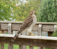 Hawk. On our back deck stock images