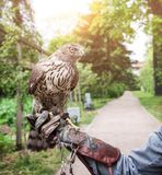 Hawk outdoors. Hawk bird on human hand.  stock photography