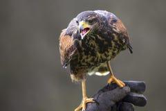 An hawk outside a falconry Stock Photography