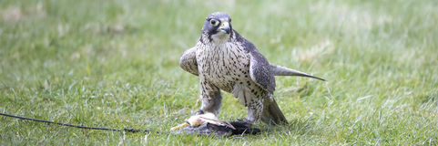 An hawk outside a falconry Royalty Free Stock Photography