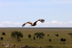 Hawk over african plains Stock Photos