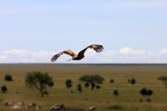 Hawk over african plains Stock Photos