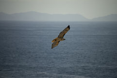 Hawk Over the Ocean Royalty Free Stock Photos