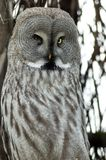 Hawk owl Royalty Free Stock Image