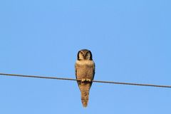 Hawk Owl Foto de Stock Royalty Free