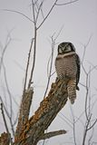 Hawk Owl. A hawk owl in a tree Royalty Free Stock Photos