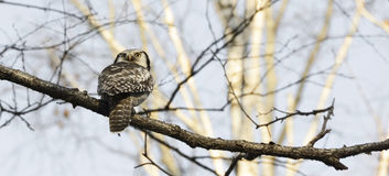 Hawk Owl Royaltyfria Bilder