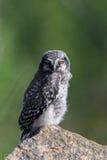 Hawk Owl Stockbild