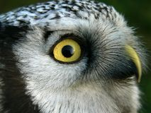 Hawk owl Stock Image
