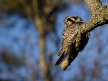 Hawk Owl Fotografia Stock Libera da Diritti